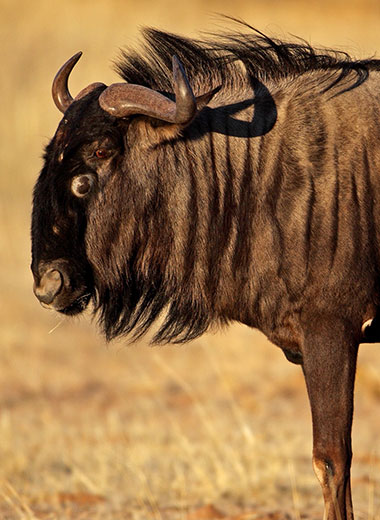 Blue Wildebeest Hunting in Africa with Tinashe
