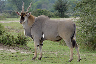 Eland Shot Placement