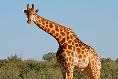 Shot Placement when Hunting Giraffe