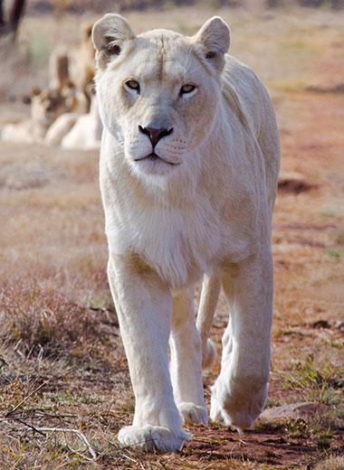 White Lion Hunting with Tinashe