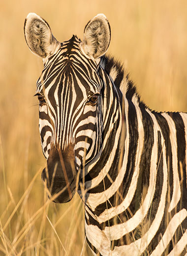 Burchell Zebra hunting in Africa with Tinashe